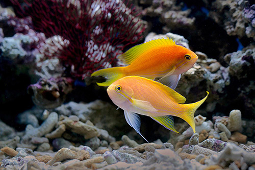 Golden Fish in the sea